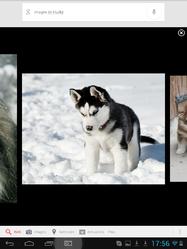 Shasta, chien Husky sibérien