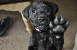 Shasta, chien Labrador Retriever