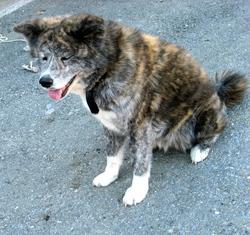 Shayla, chien Akita Inu
