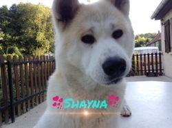 Shayna, chien Akita Inu