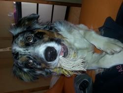 Shayna, chien Berger australien