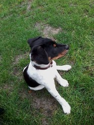 Shean, chien Jack Russell Terrier
