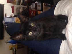 Sheba, chat Gouttière