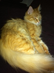 Sheena, chat Maine Coon