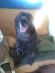 Sheena, chien Berger hollandais