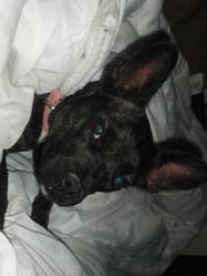 Sheila, chien