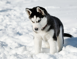 Shela, chien Husky sibérien