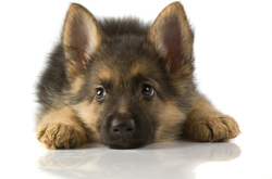 Shela, chien Berger allemand