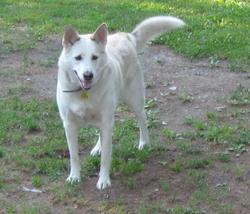 Shelby , chien Husky sibérien