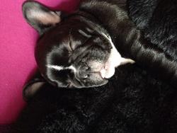 Shelby, chien Bouledogue français