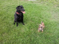 Shelby, chien Labrador Retriever