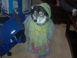 Sheldin, chien Malamute de l'Alaska