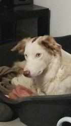 Shelly, chien Border Collie