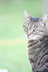 Shepa, chat Gouttière
