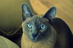 Shepès, chat Siamois