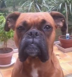 Shepper, chien Boxer