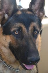 Sherkan, chien Berger allemand