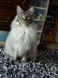 Sherkhan, chat Maine Coon