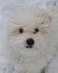 Sherlock, chien Bichon à poil frisé