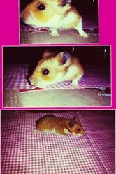 Sherlock, rongeur Hamster
