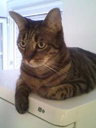 Sherlock, chat Gouttière