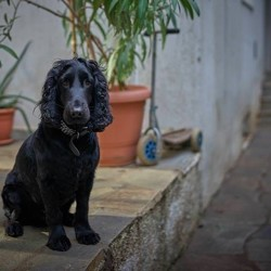 Sherlock, chien Cocker anglais