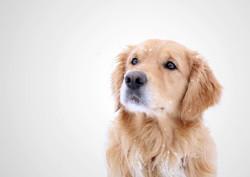 Sherlock, chien Golden Retriever