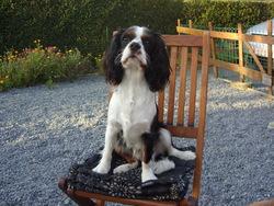 Sherlock, chien Cavalier King Charles Spaniel