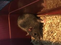 Sherry, rongeur Rat