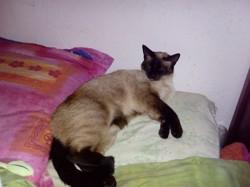 Sheryl, chat Siamois