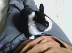 Shester, rongeur Lapin