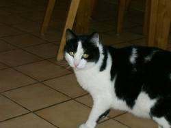 Shetan, chat Gouttière