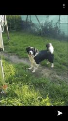 Sheva, chien Border Collie