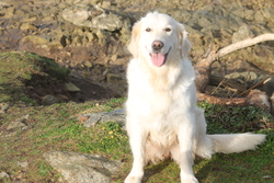 Sheyen, chien Golden Retriever