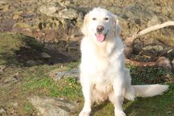 Sheyen, chien Golden Retriever
