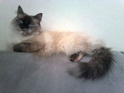 Sheyna, chat Birman