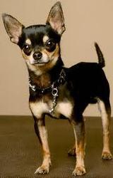 Shifteur, chien Chihuahua