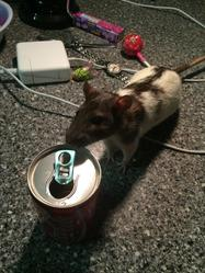 Shifty , rongeur Rat