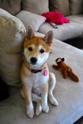 Shila, chien