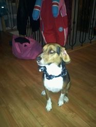 Shiloh, chien Beagle