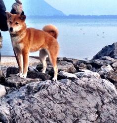 Shima, chien Shiba Inu