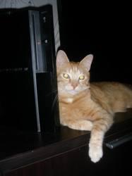 Shindo, chat Européen