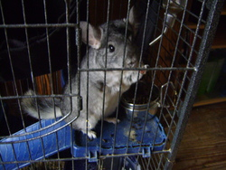 Shino, rongeur Chinchilla