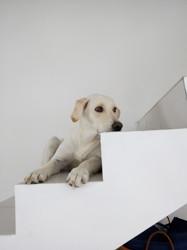 Shiny, chiot Labrador Retriever