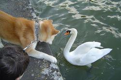 Shinzo Go, chien Akita Inu