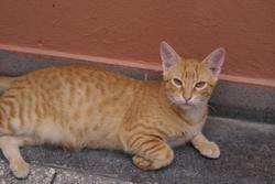 Shiraz, chat Européen