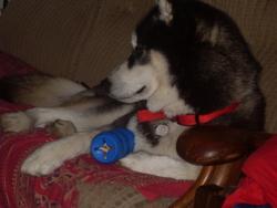 Shiro, chien Husky sibérien