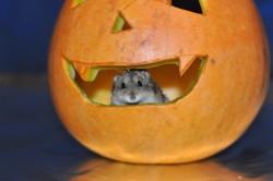 Shiro , chien Chihuahua