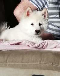 Shiro, chien Shiba Inu