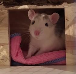 Shiro, rongeur Rat